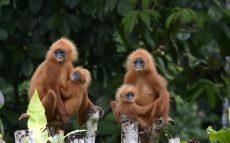 Borneo-Rainforest-Lodge-BOR-Red-Leaf-Monkey-Resized