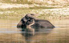 Gal-Oya-SRI-Elephant-Swim-RESIZED