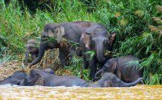 Sukau-BOR-Elephants-RESIZED