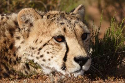 Spot Cheetah in Addo
