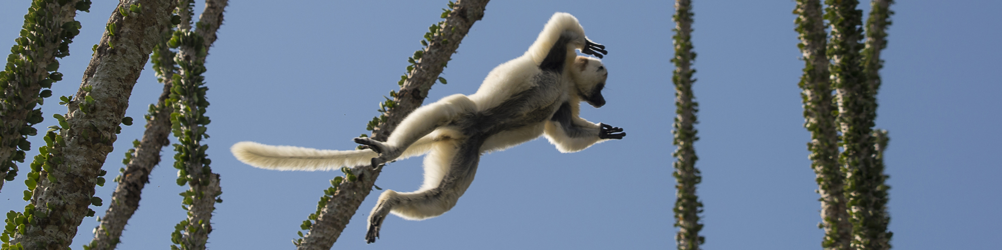 africa reps Mandrare spiny forest sifaka lemur jump resized background