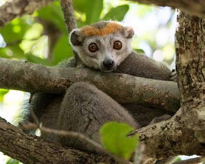 Madagascar_Iharana_Bush-lemur