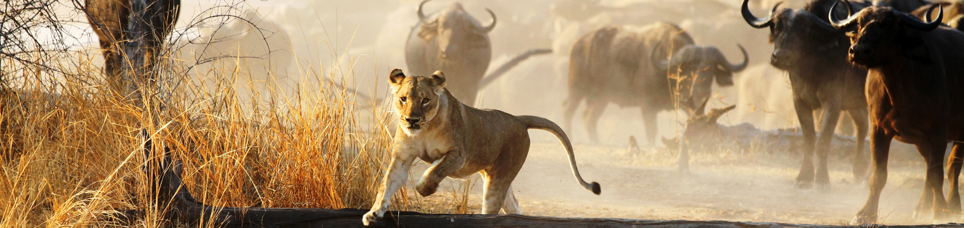 NCS – ZAM – Lion chase header