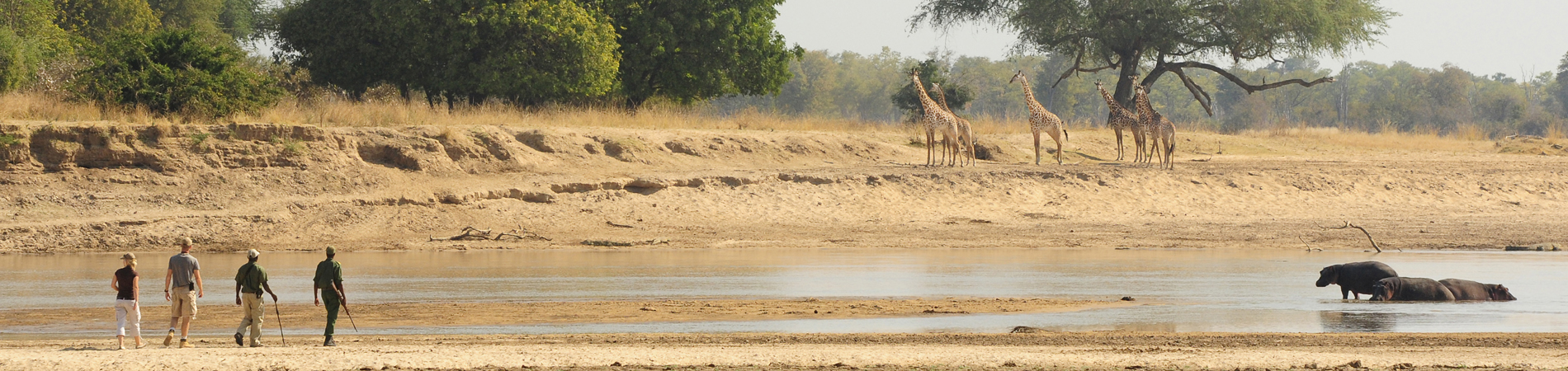 NCS – ZAM – Nsolo – walking safari giraffe header