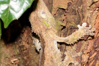 Leaf-tailed gecko, amber Mountain National Park