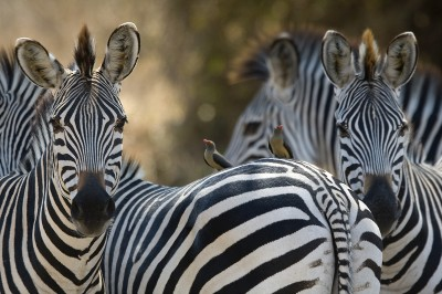 Zebras in the South Luangwa