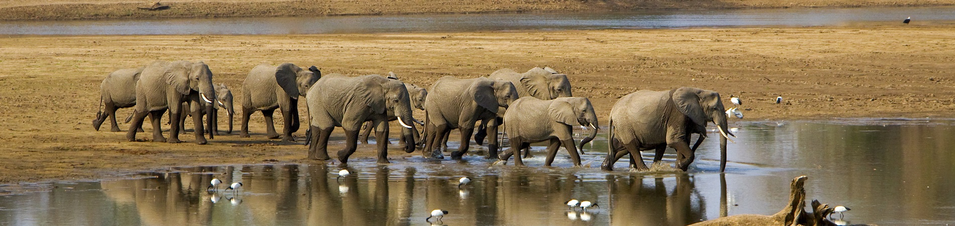 Shutterstock – ZAM – Luangwa – Ele Trail2 – website header