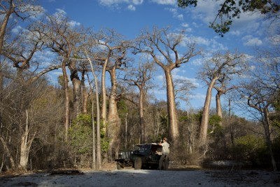 Soaring Baobab trees at Anjajavy