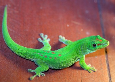 Giant day gecko, Manga Soa