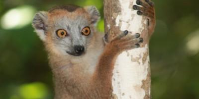 Sportive lemur