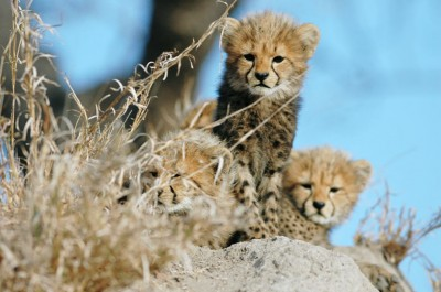 Cheetah cub game drive at Nottens