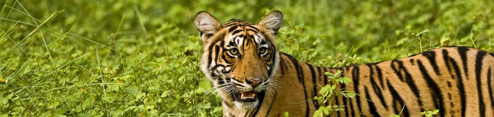 shutterstock – IND – header Ranthambore – Tiger1