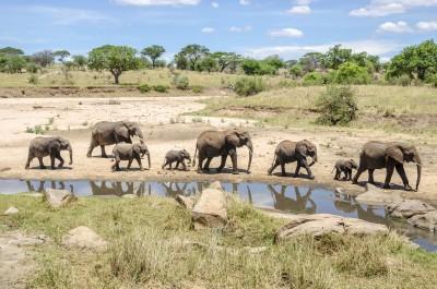 Elephant herd, Tarangire National Park