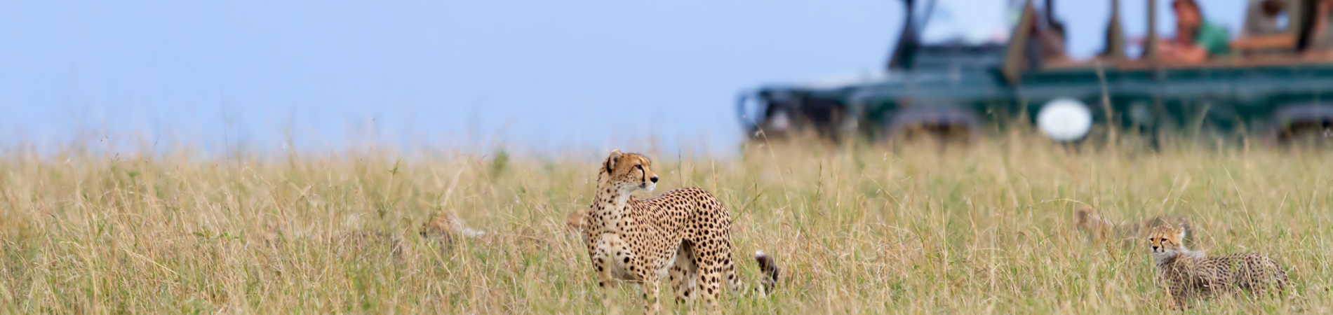 shutterstock tz header cheetah safari grass
