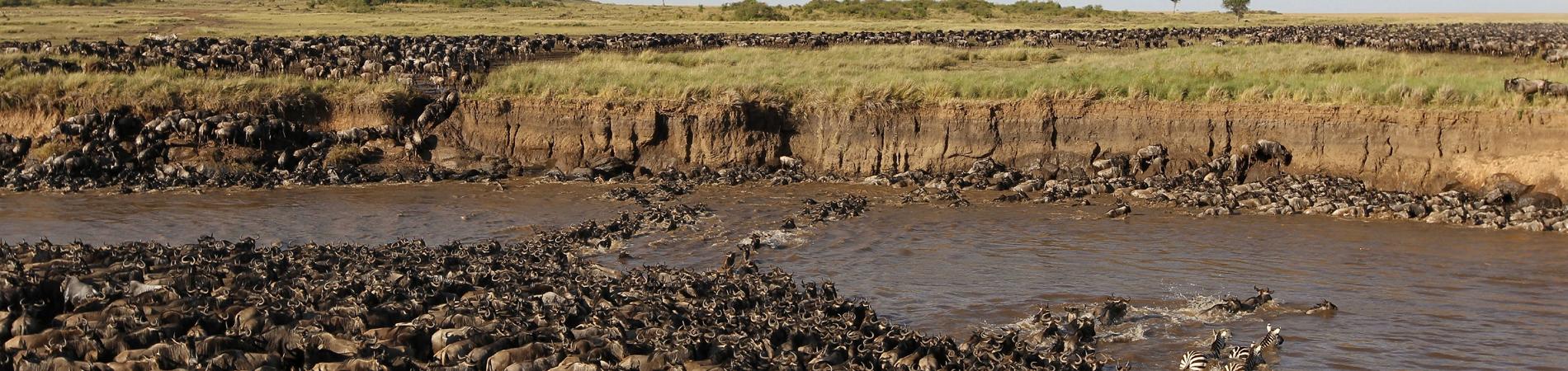 shutterstock tz wildebeest migration
