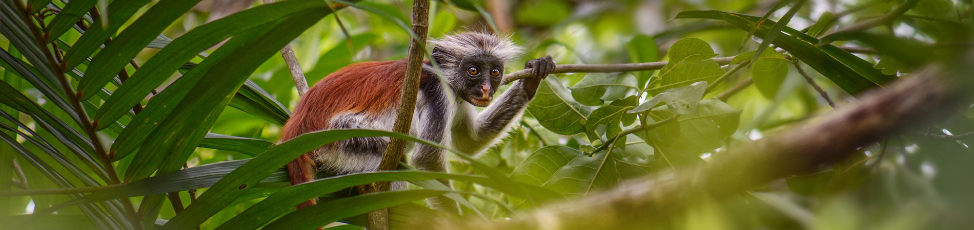 shutterstock znz header red colobus