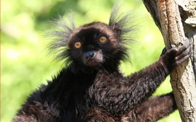 Black Macaco lemur