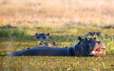 Spot hippo in Moremi