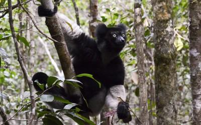 Indri Indri Lemur