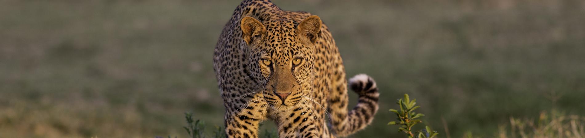 shutterstock_leopard luangwa header