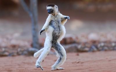 shutterstock_virreaux sifaka dancing lemur