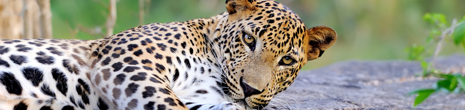 shutterstock – SRI – leopard Yala – website header