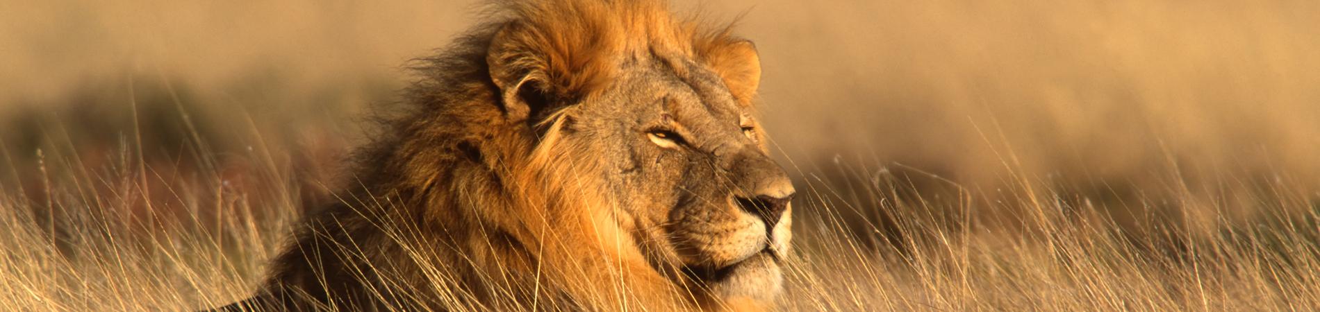shutterstock nam lion header