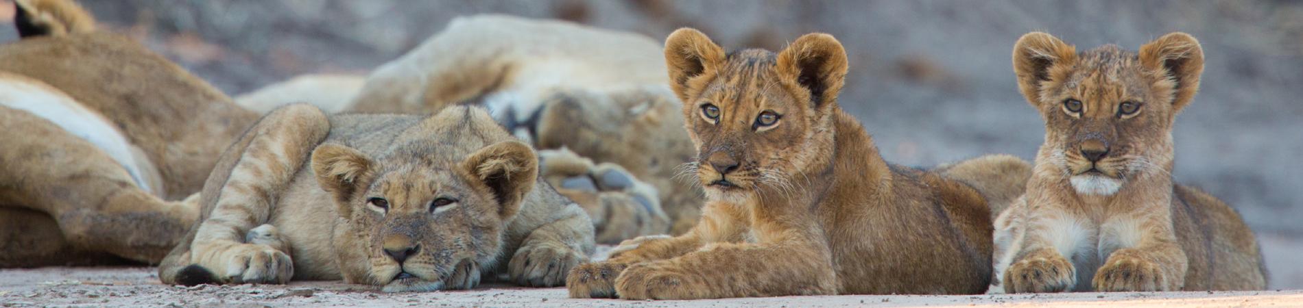 shutterstock zim lion cubs header