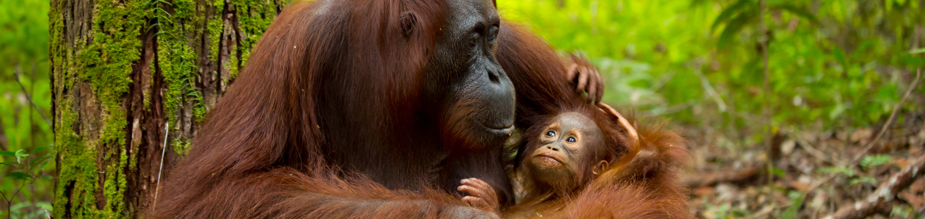 shutterstock_bor orang utan baby header