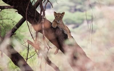 shutterstock - TZ - Manyara - Tree Lion