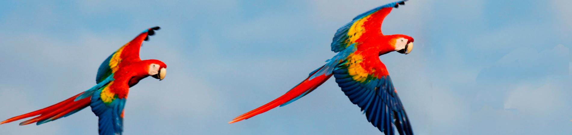 El silencio COS parrots